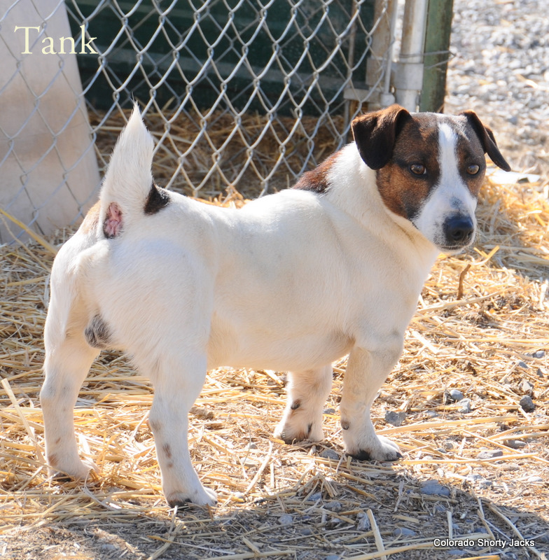 shorty jack russell terrier shorty jack russell terrier of colorado shortie jack 4120