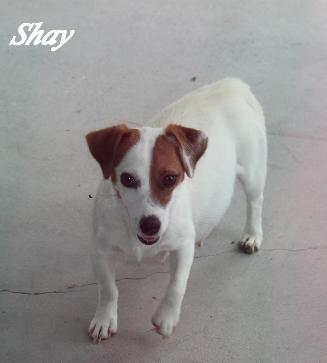 Colorado Short Jack Russell Terrier Dog