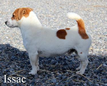 Issac short jack russell male